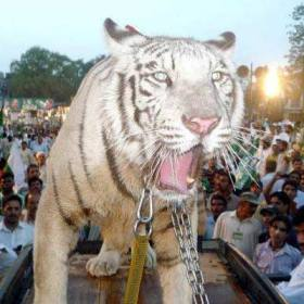 One of the campaign tigers: Alive or dead? (file photo)