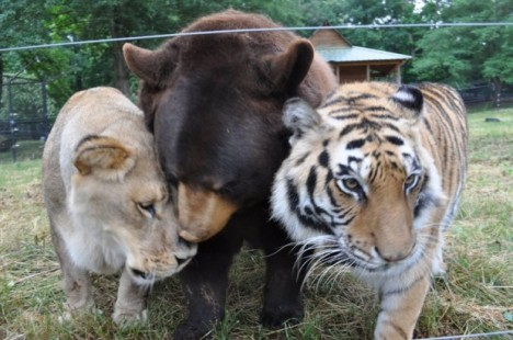 BLT love: Baloo the bear, Leo the lion, and Shere Khan the Bengal tiger, at Noah's Ark